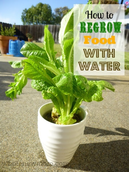 Did you know you can grow your own organic produce only using water? Yes, it's true - you don't need a big garden or fancy tools - just regrow food in water. And you can do it inside! Learn what plants grow in water and how to do it - easily!